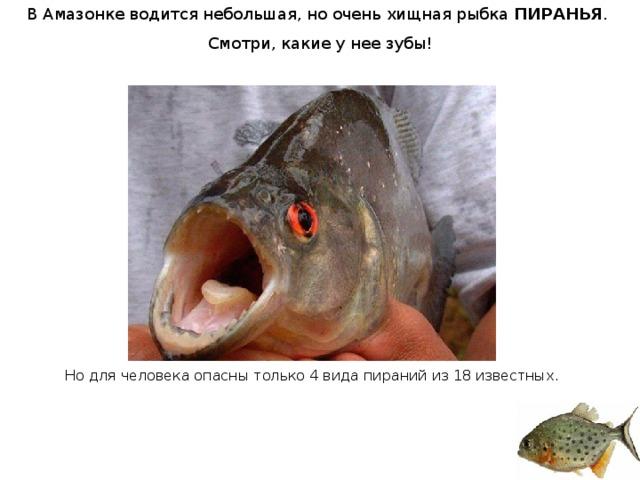 В Амазонке водится небольшая, но очень хищная рыбка ПИРАНЬЯ . Смотри, какие у нее зубы! Но для человека опасны только 4 вида пираний из 18 известных.