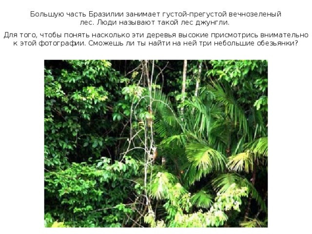 Большую часть Бразилии занимает густой-прегустой вечнозеленый лес. Люди называют такой лес джунгли.  Для того, чтобы понять насколько эти деревья высокие присмотрись внимательно к этой фотографии. Сможешь ли ты найти на ней три небольшие обезьянки?