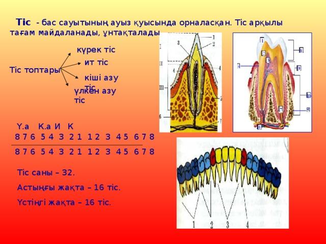 Тіс - бас сауытының ауыз қуысында орналасқан. Тіс арқылы тағам майдаланады, ұнтақталады. күрек тіс ит тіс Тіс топтары кіші азу тіс үлкен азу тіс Ү.а  К.а И К 8 7 6 5 4 3 2 1 1 2 3 4 5 6 7 8 8 7 6 5 4 3 2 1 1 2 3 4 5 6 7 8 Тіс саны – 32. Астыңғы жақта – 16 тіс. Үстіңгі жақта – 16 тіс.