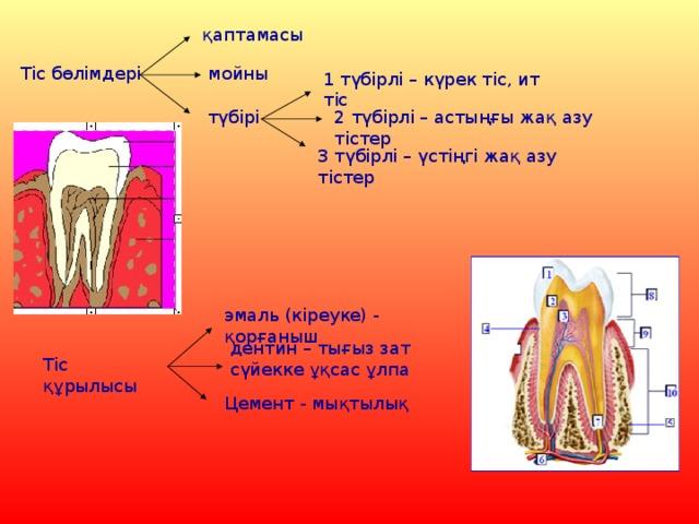 қаптамасы мойны Тіс бөлімдері 1 түбірлі – күрек тіс, ит тіс түбірі 2 түбірлі – астыңғы жақ азу тістер 3 түбірлі – үстіңгі жақ азу тістер эмаль (кіреуке) - қорғаныш дентин – тығыз зат сүйекке ұқсас ұлпа Тіс құрылысы Цемент - мықтылық