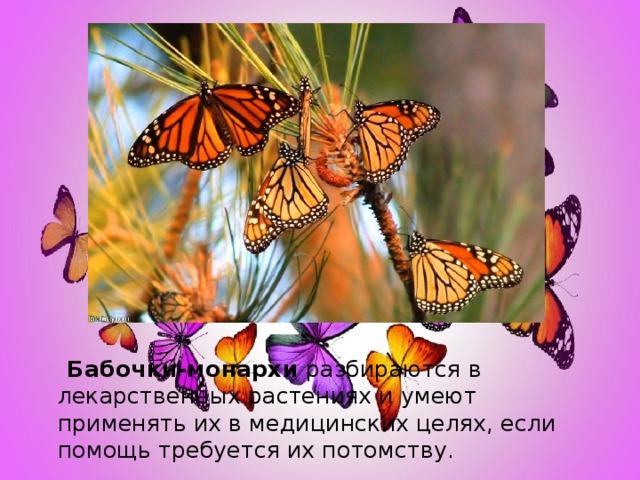 Бабочки-монархи разбираются в лекарственных растениях и умеют применять их в медицинских целях, если помощь требуется их потомству.