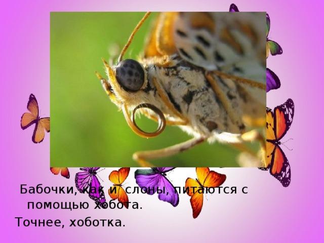 Бабочки, как и слоны, питаются с помощью хобота. Точнее, хоботка.