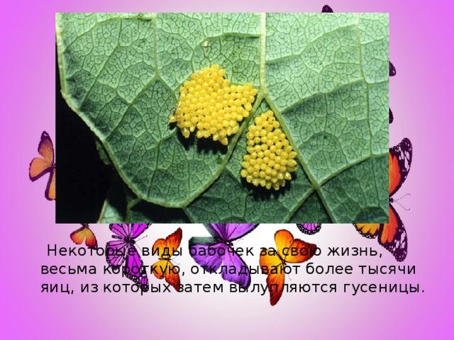 Некоторые виды бабочек за свою жизнь, весьма короткую, откладывают более тысячи яиц, из которых затем вылупляются гусеницы.
