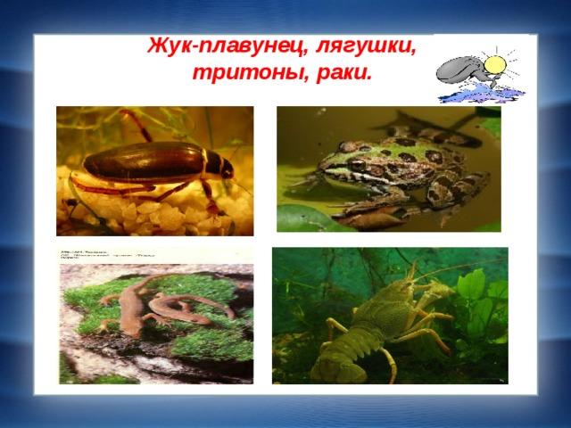 Жук-плавунец, лягушки,  тритоны, раки.