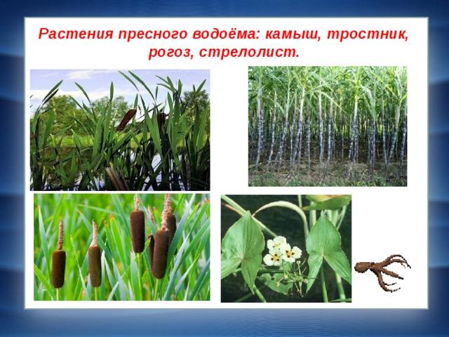 Растения пресного водоёма: камыш, тростник, рогоз, стрелолист.