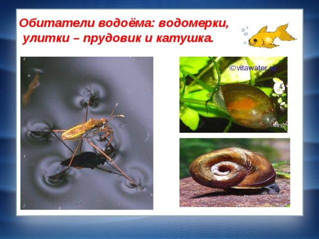 Обитатели водоёма: водомерки,  улитки – прудовик и катушка.