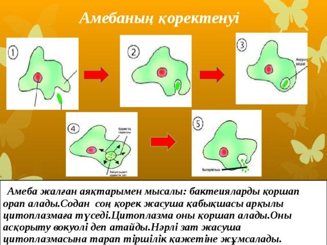 Амебаның қоректенуі  Амеба жалған аяқтарымен мысалы: бактеияларды қоршап орап алады.Содан соң қорек жасуша қабықшасы арқылы цитоплазмаға түседі.Цитоплазма оны қоршап алады.Оны асқорыту вокуолі деп атайды.Нәрлі зат жасуша цитоплазмасына тарап тіршілік қажетіне жұмсалады.