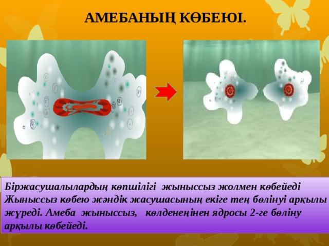 АМЕБАНЫҢ КӨБЕЮІ. Біржасушалылардың көпшілігі жыныссыз жолмен көбейеді Жыныссыз көбею жәндік жасушасының екіге тең бөлінуі арқылы жүреді. Амеба жыныссыз, көлденеңінен ядросы 2-ге бөліну арқылы көбейеді.