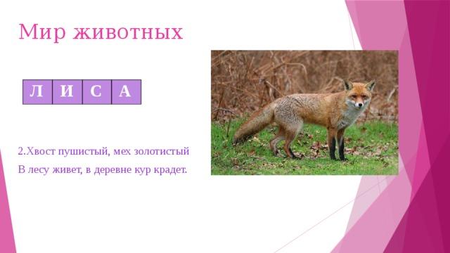 Мир животных  Л  И  С  А 2.Хвост пушистый, мех золотистый В лесу живет, в деревне кур крадет.