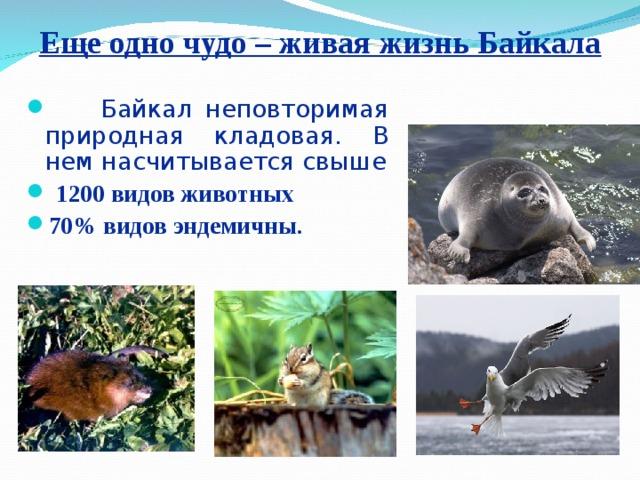 Еще одно чудо – живая жизнь Байкала  Байкал неповторимая природная кладовая. В нем насчитывается свыше  1200 видов животных 70% видов эндемичны.