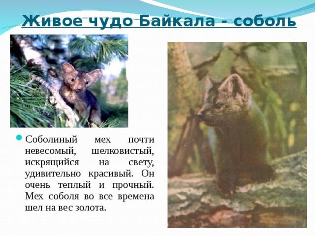 Живое чудо Байкала - соболь