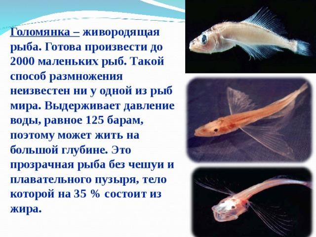 Голомянка – живородящая рыба. Готова произвести до 2000 маленьких рыб. Такой способ размножения неизвестен ни у одной из рыб мира. Выдерживает давление воды, равное 125 барам, поэтому может жить на большой глубине. Это прозрачнаярыба без чешуи и плавательного пузыря, тело которой на 35% состоит из жира.