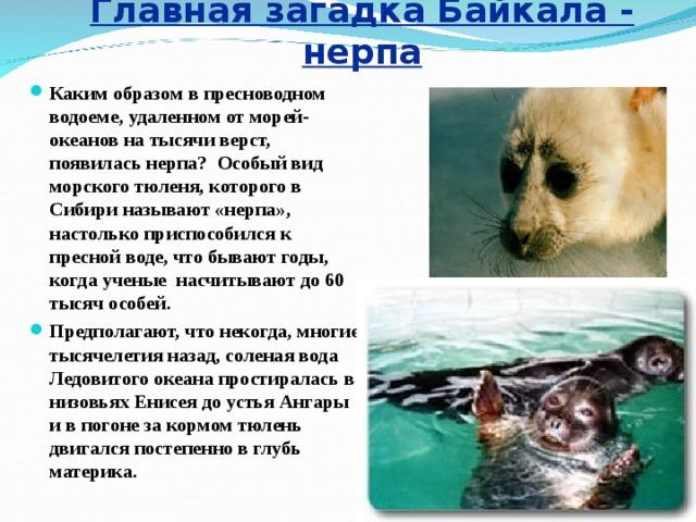 Главная загадка Байкала - нерпа