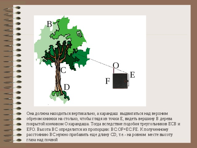 B O C E F D Она должна находиться вертикально, а карандаш выдвигаться над верхним обрезом книжки на столько, чтобы глядя из точки Е, видеть вершину В дерева покрытой кончиком О карандаша. Тогда вследствие подобия треугольников ЕСВ и ЕFО. Высота ВС определится из пропорции: BC:OF=EC:FE. К полученному расстоянию ВС нужно прибавить еще длину CD, т.е.- на ровном месте высоту глаза над почвой