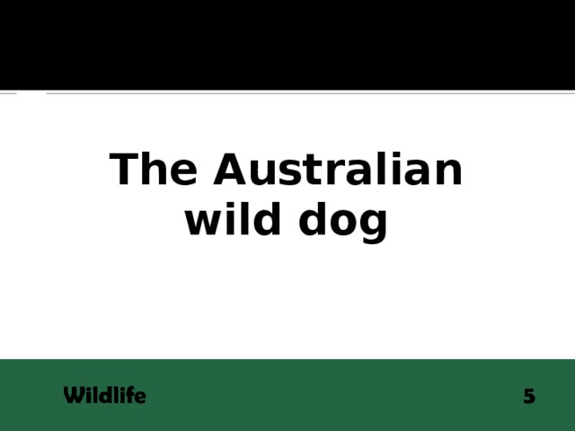 QUESTION The Australian  wild dog