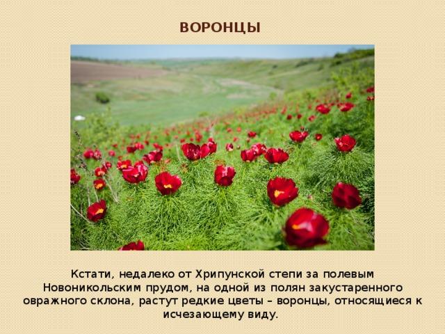 Воронцы Кстати, недалеко от Хрипунской степи за полевым Новоникольским прудом, на одной из полян закустаренного овражного склона, растут редкие цветы – воронцы, относящиеся к исчезающему виду.
