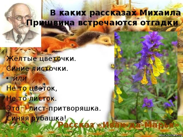 В каких рассказах Михаила Пришвина встречаются отгадки Жёлтые цветочки. Синие листочки. или Не то цветок, Не то листок. Это лист-притворяшка. Синяя рубашка! Рассказ «Иван-да-Марья»