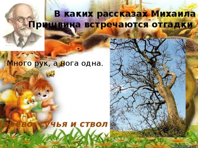 В каких рассказах Михаила Пришвина встречаются отгадки Много рук, а нога одна. Дерево, сучья и ствол