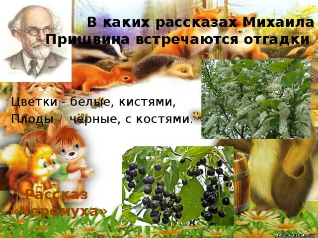 В каких рассказах Михаила Пришвина встречаются отгадки Цветки - белые, кистями, Плоды чёрные, с костями . Рассказ «Черёмуха»