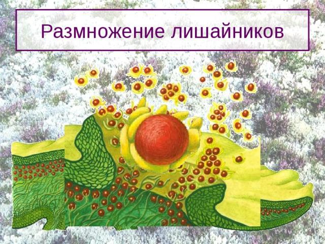 Размножение лишайников Большинство лишайников способно вырастать даже из мелких фрагментов родительского слоевища, лишь бы эти фрагменты содержали и водоросль и гифы гриба. У многих групп лишайников по краям или на верхней поверхности слоевища образуются особые выросты, похожие на листочки или веточки, которые легко отламываются и дают начало новому организму.  В других случаях одна клетка водоросли в сердцевине лишайника окружаются несколькими слоями гиф, превращаясь в крошечную гранулу, называемую соредией. Скопления таких гранул, прорывая кору, появляются на поверхности в виде порошистых масс, разносимых ветром.  Каждая соредия способна прорасти в новое слоевище. 4
