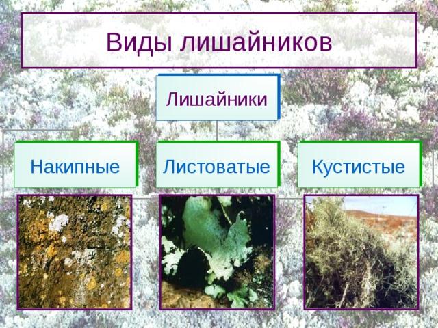 Виды лишайников Лишайники Накипные Листоватые Кустистые Тело лишайника не разделено на отдельные ткани и представляет собой таллом, или слоевище. По внешнему виду различают три типа талломов лишайников:  накипные (или корковые),  листоватые,  кустистые.