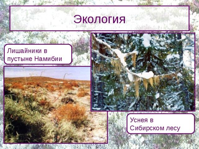 Экология Лишайники в  пустыне Намибии Преимуществом лишайников является терпимость к экстремальным условиям (морозам, засухе, высоким температурам и ультрафиолетовому излучению). В то же время лишайники проявляют повышенную чувствительность к химическому загрязнению среды. При этом степень чувствительности у разных видов лишайников разная, поэтому их используют в качестве биоиндикаторов степени загрязненности окружающей среды. Использование лишайников для определения чистоты воздуха называется лихеноиндикацией. Уснея в  Сибирском лесу 9