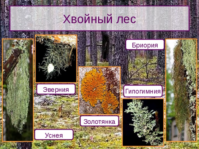 Хвойный лес Бриория Эверния Гипогимния Как определить степень загрязнения воздуха, наблюдая за лишайниками? В чистом хвойном лесу видовой состав лишайников очень разнообразен. Золотянка Уснея 10