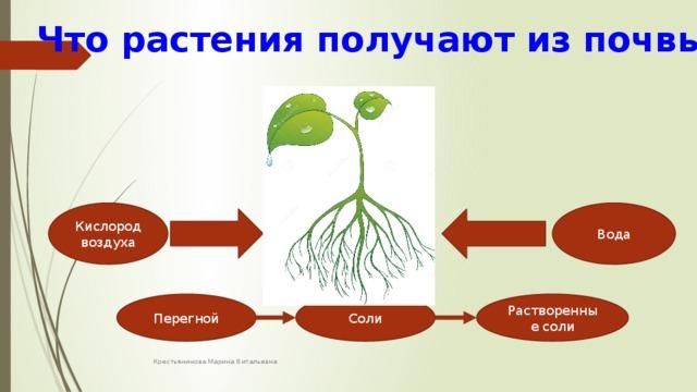 Что растения получают из почвы Кислород воздуха Вода Перегной Соли Растворенные соли Крестьянинова Марина Витальевна