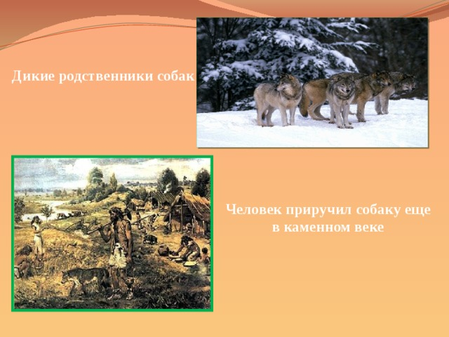 Дикие родственники собак Человек приручил собаку еще в каменном веке