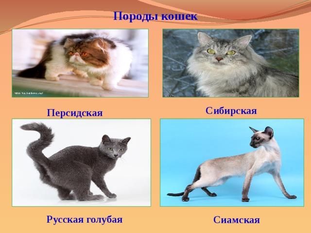 Породы кошек   Сибирская  Персидская Русская голубая  Сиамская