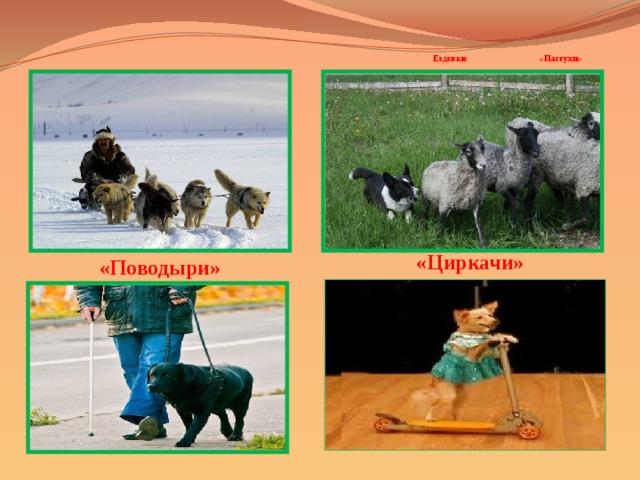 Ездовые «Пастухи»     «Циркачи»   «Поводыри»