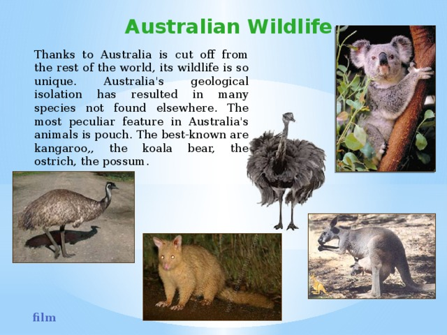 Australian Wildlife Thanks to Australia is cut off from the rest of the world, its wildlife is so unique. Australia's geological isolation has resulted in many species not found elsewhere. The most peculiar feature in Australia's animals is pouch. The best-known are kangaroo,, the koala bear, the ostrich, the possum. film