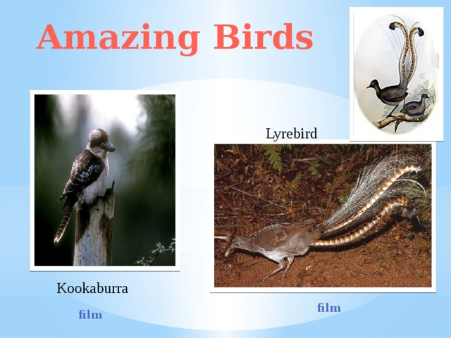 Amazing Birds Lyrebird Kookaburra film film