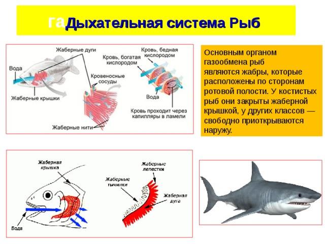 га Дыхательная система Рыб  ия рыб - жабры Основным органом газообмена рыб являютсяжабры, которые расположены по сторонам ротовой полости. Укостистых рыбони закрыты жаберной крышкой, у других классов— свободно приоткрываются наружу.