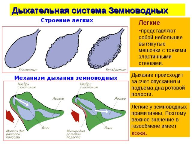 Дыхательная система Земноводных Строение легких  Легкие - представляют собой небольшие вытянутые мешочки с тонкими эластичными стенками. Дыхание происходит за счет опускания и подъема дна ротовой полости. Механизм дыхания земноводных Легкие у земноводных примитивны, Поэтому важное значение в газообмене имеет кожа.