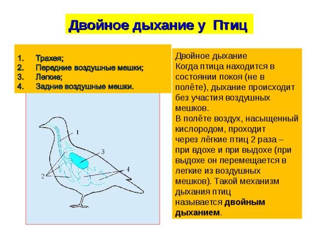 Двойное дыхание у Птиц Двойное дыхание Когда птица находится в состоянии покоя (не в полёте), дыхание происходит без участия воздушных мешков. В полётевоздух, насыщенный кислородом,проходит черезлёгкие птиц2 раза – при вдохе и при выдохе (при выдохе он перемещается в легкие из воздушных мешков). Такой механизм дыхания птиц называется двойным дыханием .
