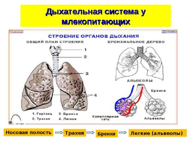 Дыхательная система у млекопитающих Носовая полость Трахея Легкие (альвеолы) Бронхи