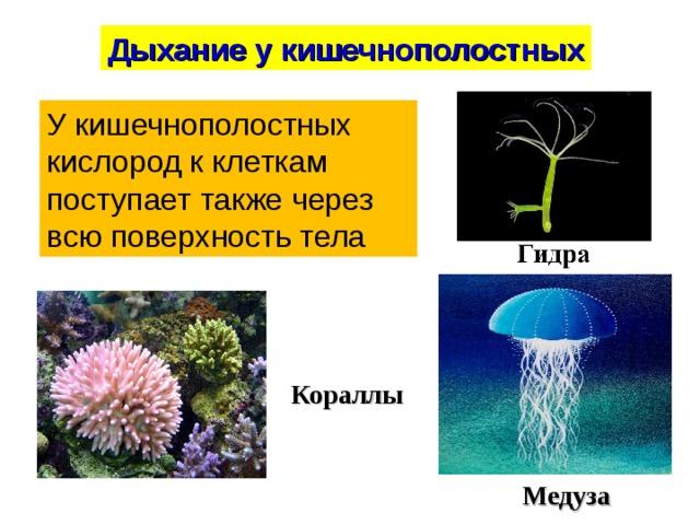 Дыхание у кишечнополостных У кишечнополостных кислород к клеткам поступает также через всю поверхность тела Кораллы Медуза