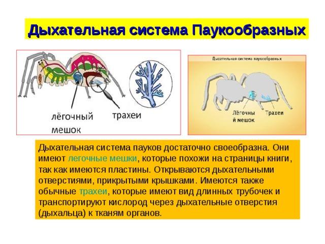 Дыхательная система Паукообразных Дыхательная система пауков достаточно своеобразна. Они имеют легочные мешки , которые похожи на страницы книги, так как имеются пластины. Открываются дыхательными отверстиями, прикрытыми крышками. Имеются также обычные трахеи , которые имеют вид длинных трубочек и транспортируют кислород через дыхательные отверстия (дыхальца) к тканям органов.