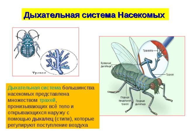 Дыхательная система Насекомых Дыхательная система большинства насекомых представлена множеством трахей , пронизывающих всё тело и открывающихся наружу с помощью дыхалец (стигм), которые регулируют поступление воздуха