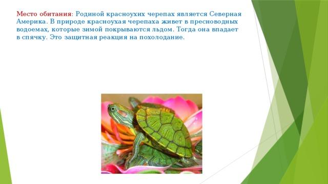 Место обитания: Родиной красноухих черепах является Северная Америка. В природе красноухая черепаха живет в пресноводных водоемах, которые зимой покрываются льдом. Тогда она впадает в спячку. Это защитная реакция на похолодание.