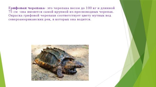 Грифовая черепаха – это черепаха весом до 100 кг и длинной 75 см –она является самой крупной из пресноводных черепах. Окраска грифовой черепахи соответствует цвету мутных вод североамериканских рек, в которых она водится.