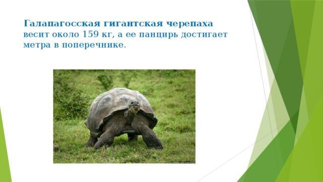 Галапагосская гигантская черепаха   весит около 159 кг, а ее панцирь достигает метра в поперечнике.