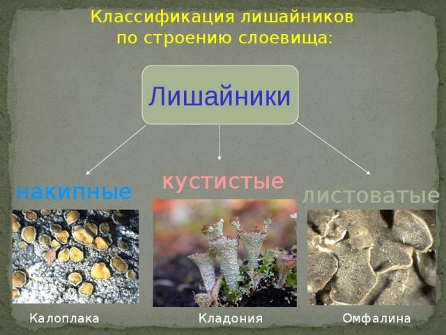 Классификация лишайников  по строению слоевища: Лишайники кустистые накипные листоватые Калоплака Омфалина Кладония