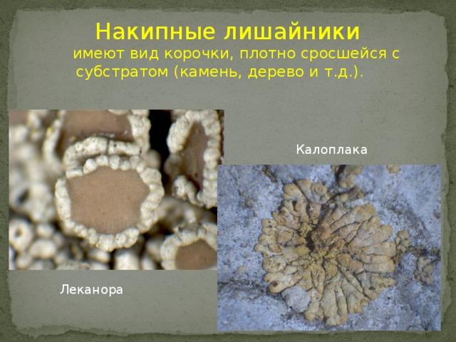 Накипные лишайники  имеют вид корочки, плотно сросшейся с субстратом (камень, дерево и т.д.). Калоплака Леканора