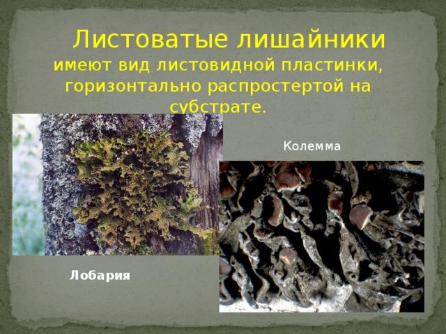 Листоватые лишайники имеют вид листовидной пластинки, горизонтально распростертой на субстрате. Колемма Лобария