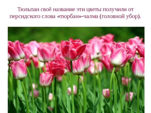 Тюльпан своё название эти цветы получили от персидского слова «тюрбан»-чалма (головной убор).