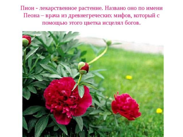 Пион - лекарственное растение. Названо оно по имени Пеона – врача из древнегреческих мифов, который с помощью этого цветка исцелял богов.