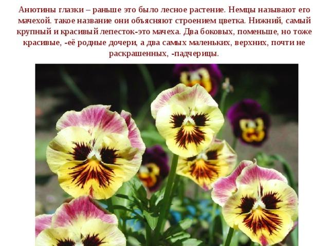 Анютины глазки – раньше это было лесное растение. Немцы называют его мачехой. такое название они объясняют строением цветка. Нижний, самый крупный и красивый лепесток-это мачеха. Два боковых, поменьше, но тоже красивые, -её родные дочери, а два самых маленьких, верхних, почти не раскрашенных, -падчерицы.