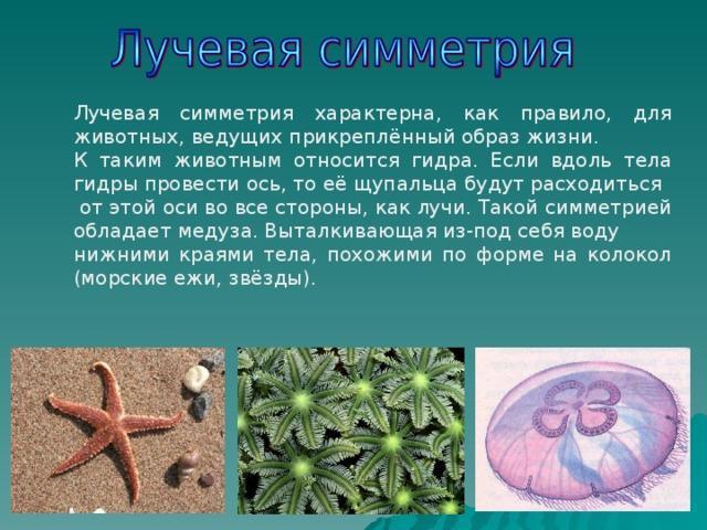 Лучевая симметрия характерна, как правило, для животных, ведущих прикреплённый образ жизни. К таким животным относится гидра. Если вдоль тела гидры провести ось, то её щупальца будут расходиться  от этой оси во все стороны, как лучи. Такой симметрией обладает медуза. Выталкивающая из-под себя воду нижними краями тела, похожими по форме на колокол (морские ежи, звёзды).